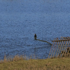 Cormorant perched on a stick on the river Ribble.
