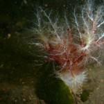 Unidentified sea cucumber