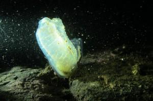 Dramatically lit tunicate