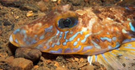 Photo of a dragonet, one of the most exotic fish to be found around the British Isles, by Gordon Fletcher.