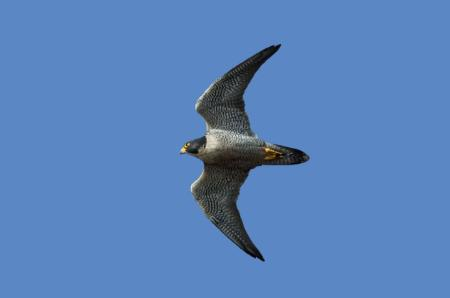Photo of a peregrine falcon