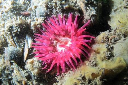 Anemone photographed at Roa Island 2015