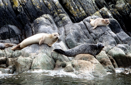 seals on rocks by Gordon Fletcher