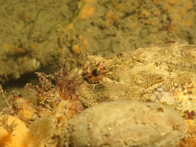 Scorpion fish hiding on the bottom at Roa, 26 July 2019, by Lewis Bambury.