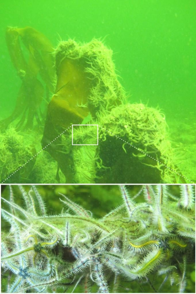 Two photographs of brittlestars on kelp. the main image is taken from 5m in natural light, and they appear monochrome. The inset is taken at a distance of 30cm with a white strobe.