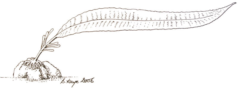 Line drawing of dabberlocks, a typical seaweed.