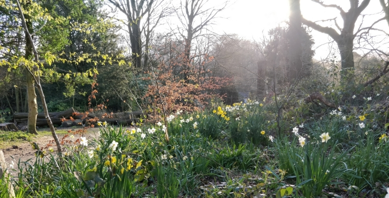 Daffodils in Williamson Park, Lancaster, Spring 2020.
