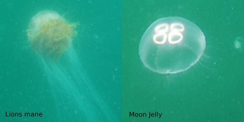 Photo showing two common jellyfish underwater.