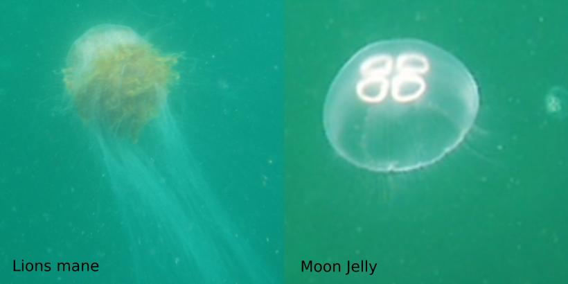 Photo showing two common jellyfish underwater.